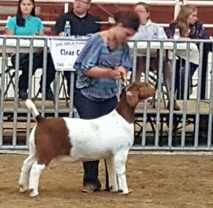 Redden Brothers Livestock :: Goats :: Cattle :: Corgis :: Norman